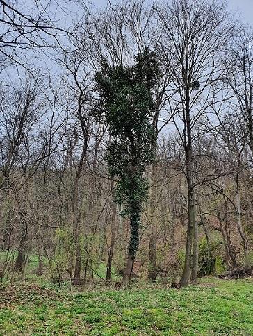Popínavý strom AS-POUSTR jako přírodní útvar